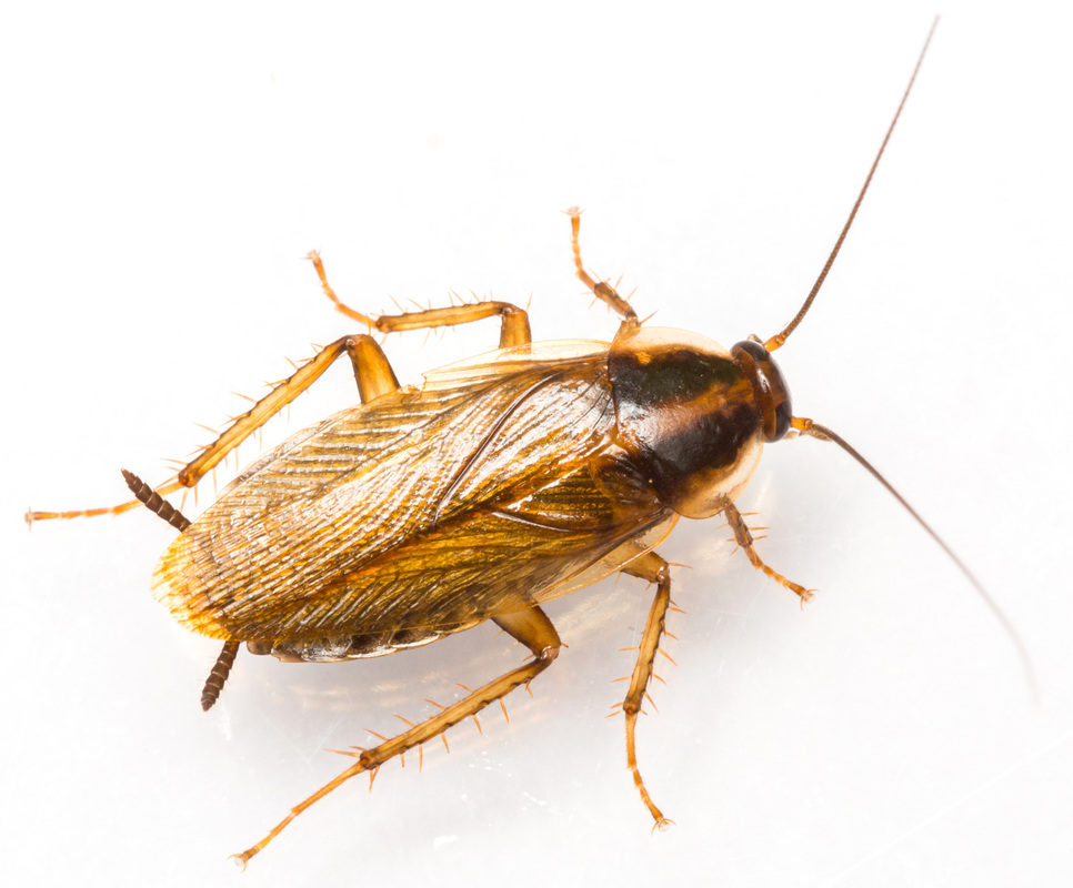 5 Signs of a German Roach Infestation and How to Get Rid
